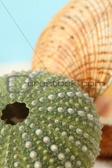 Green sea urchin and clam shell