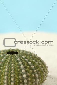 Green sea urchin on a sand