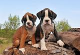 puppies boxer
