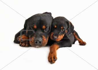 baby rottweiler and his mother dog