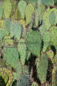 Bright Green Prickley Pear Cactus