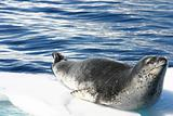Leopard seal on ice floe in Antacrtica