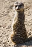 Meerkat standing in sunshine
