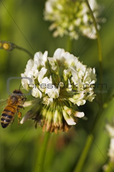 bee on clover