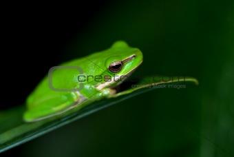 little fallax frog