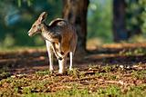 kangaroo looking left