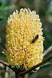 bee and the banksia