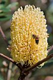 bee and a banksia