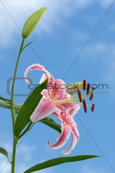 Fragrant Oriental Lily