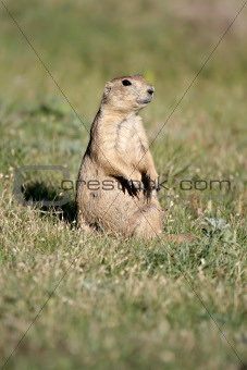 prairie dog sitting vigilant