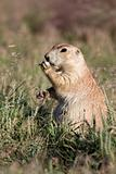 prarie dog eating