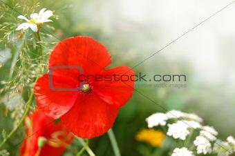 Wild Poppy Flowers