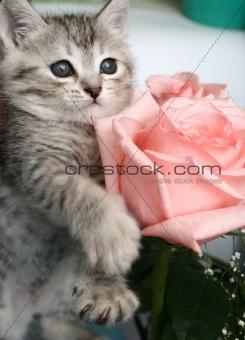 Grey kitten and pink rose
