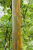 Rainbow Eucalyptus tree, Maui, Hawaii.