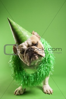 English Bulldog wearing lei and party hat.