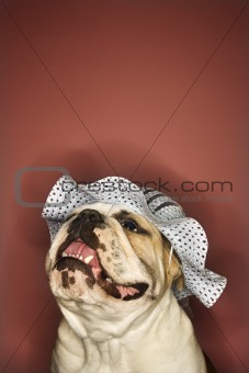 Smiling English Bulldog wearing a bonnet.