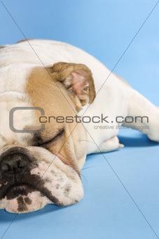 Sleeping English Bulldog.