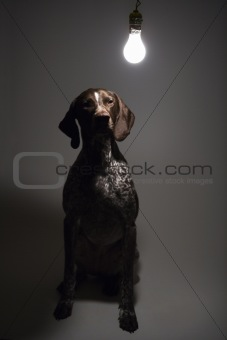 German Shorthaired Pointer with lightbulb over head.
