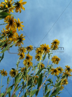 """Flowers"": Black-eyed Susans Looking Upwards"
