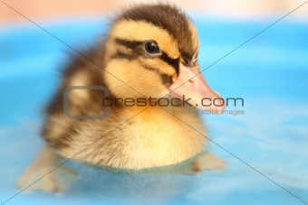 Small yellow with black the duck