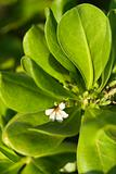 Close-up of flower and leaves in Maui, Hawaii.