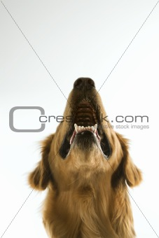 Close up of Golden Retriever dog looking up.