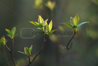 Green leaves sprouting in spring