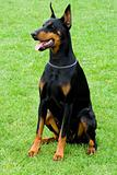 doberman sitting on the grass