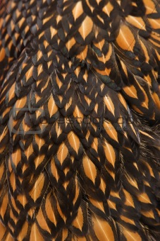Close-up feathers of Golden Laced Wyandotte chicken.
