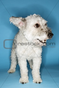 Small white dog portrait.