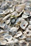 Oyster shells on Bald Head Island, North Carolina.