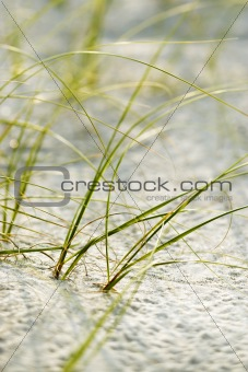 Beach grass on Bald Head Island, North Carolina.