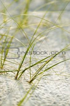 Beach grass on Bald Head Island, North Carolina.