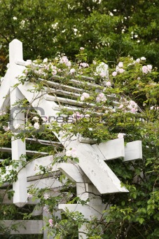 Arbor with blooming rose vine.