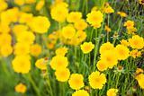 Yellow flowers growing wild.