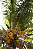 Coconut tree full of coconuts.