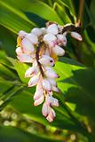 Ginger flower on plant.
