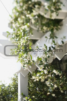 Flowering vine growing on white trellis.