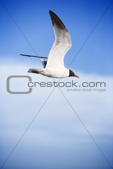Black-headed gull in flight.