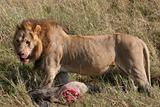 Male lion with prey