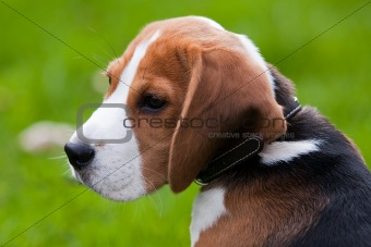 Close portrait of beagle