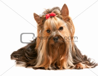 Charming yorkie on the white