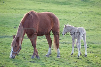 Adorable baby horse with its mother