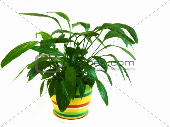 Potted plant Spathiphyllum on a white background