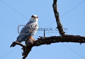 Black Shouldered Kite with prey