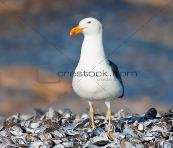 Cape Gull standing on mussel shells in the sun