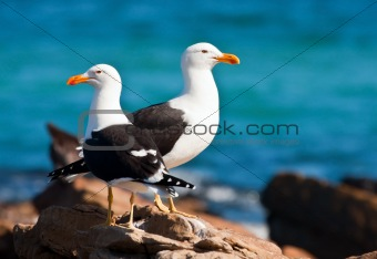 A pair of Cape gulls standing on the rocks