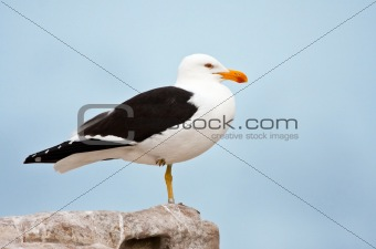 A ringed Cape Gull standing on rocks
