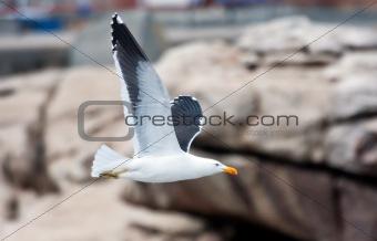 Cape Gull flying past rocks