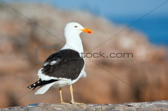 Cape Gull standing on the rocks in sunshine